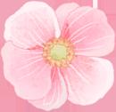 アネモネ(ピンク)1