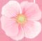 アネモネ(ピンク)2